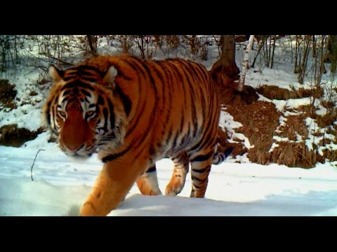 Video of Wild Manchurian Tiger Captured in northeast China Forest
