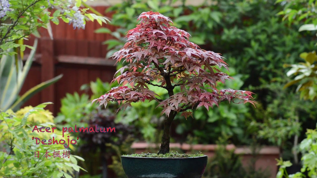 Acer Palmatum Deshojo Japanese Maple 日本楓樹 Youtube