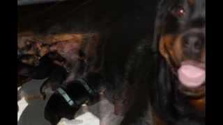 Rottweiler Welpen Von Cobra Von Der Schlossmühle Und Basky Vom Glockenturm