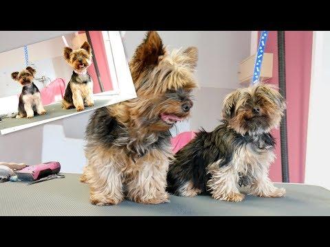 PetGroooming  Two Yorkies on Grooming Table