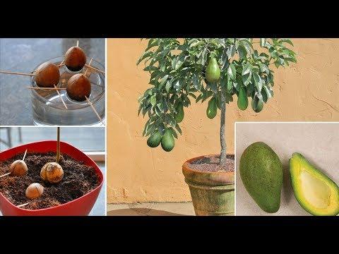 Авокадо из косточки уход и особенности выращивания