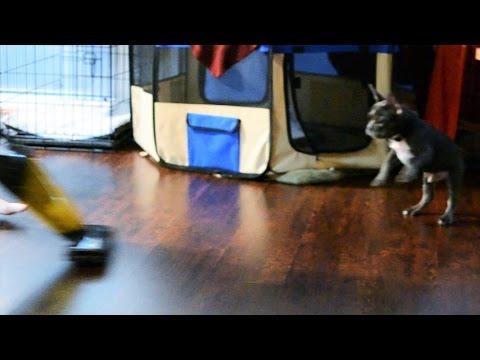 Bill the French Bulldog Puppy vs. Vacuum