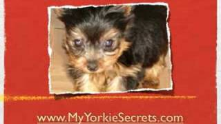 Tips To Help You Best Care For Yorkie Pups