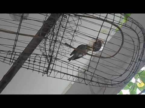 Khuyên nhảy lụp [ Zosteropidae trap]