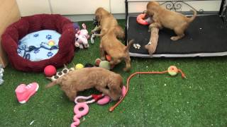 Little Rascals Uk Breeders New Litter Of Golden Cocker Spaniel Puppies - Puppies For Sale 2015