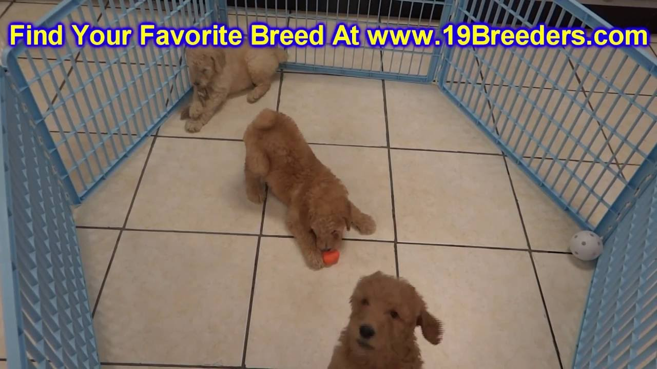 Goldendoodle, Puppies, Dogs, For Sale, In Anchorage, Alaska, AK,  19Breeders, Fairbanks