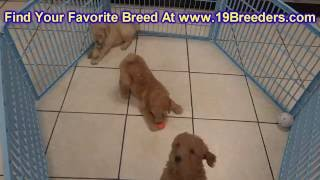 GoldenDoodle, Puppies, For, Sale, In, Anchorage, Alaska,AK, Fairbanks, Juneau, Eagle River