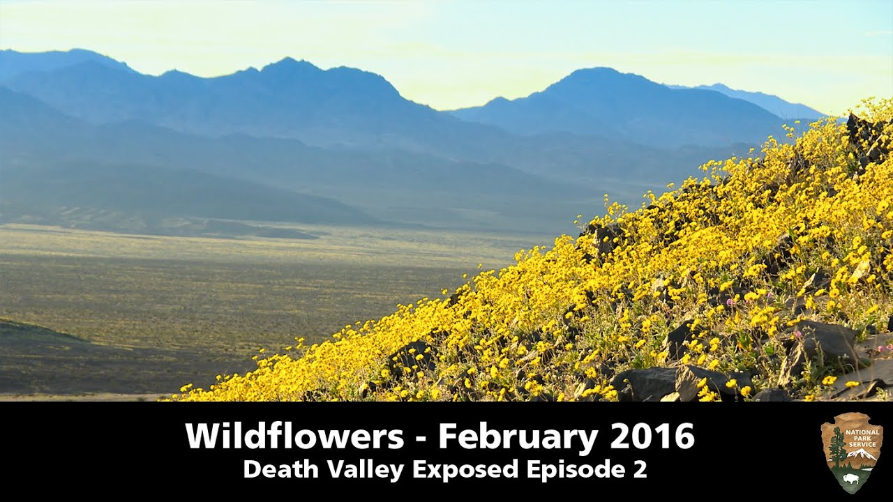 death valley exposed wildflowers february 2016 youtube