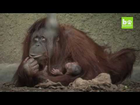 Chester Zoo welcomes the first Bornean Orangutan to be born in Britain in over 10 years