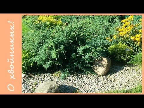 Можжевельник в моем саду. Хвойные растения. Можжевельник горизонтальный, можжевельник средний.