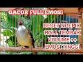 Masteran Burung Cucak Jenggot Jantan Gacor Emosian Ngegass Kicau Pidong  Mp3 - Mp4 Download