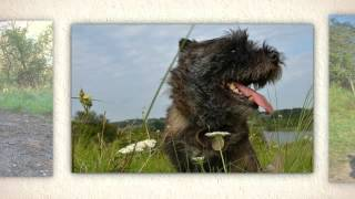 Cairn Terrier Training Tips