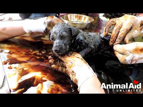 Three Puppies Trapped in Tar. Rescued by angles!