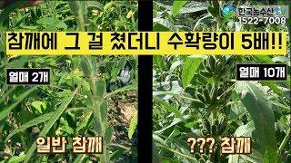[한국농수산TV] 참깨에 그 걸 쳤더니 수확이 5배 늘어났어요!! 경북 안동