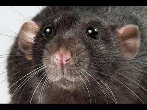 Домашняя крыса хаски - красавчик. - YouTube
