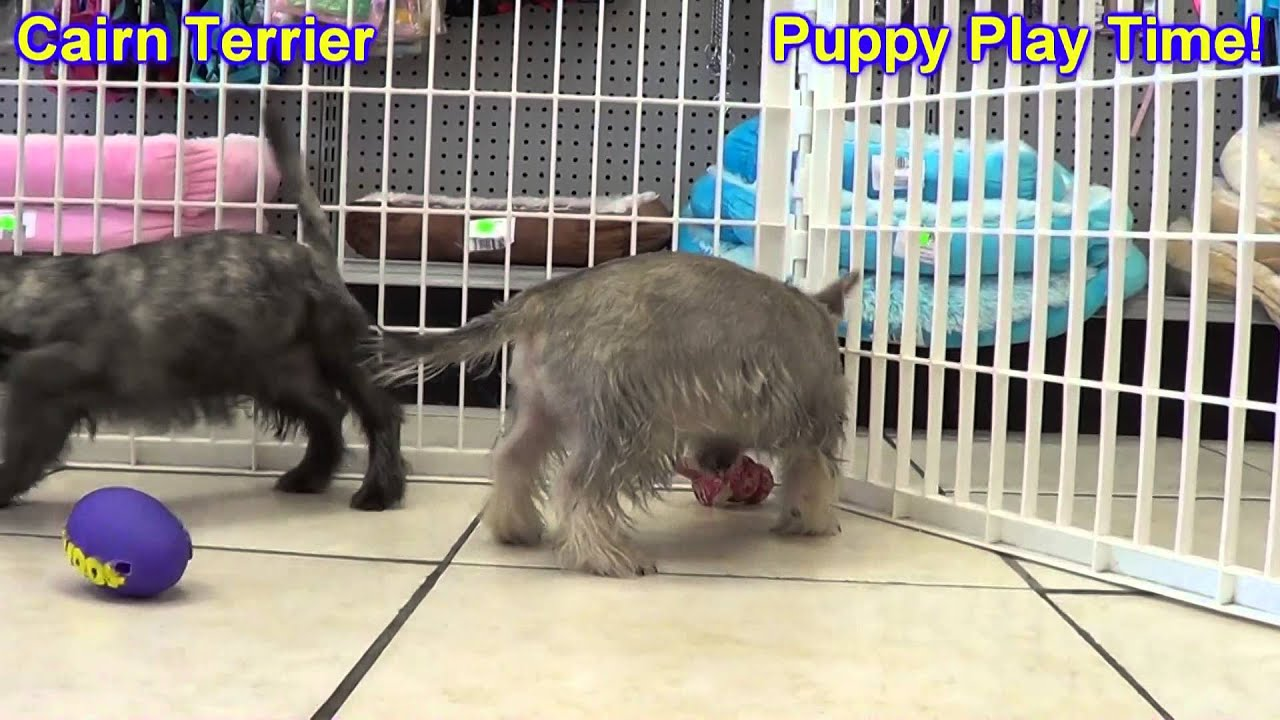 Cairn Terrier, Puppies, For, Sale, In, Billings, Montana, MT, Missoula,  Great Falls, Bozeman