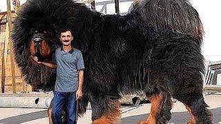 10 Abnormal Große Hunde - Die es wirklich gibt!