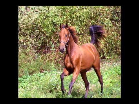 Johnny - Saddlebred Yearling Colt For Sale