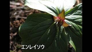 冠山の花(春)(H29年4月29日撮影-フルーツトマト) BGM(風景詩- 海援...