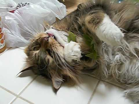 Maine Coon cat on catnip