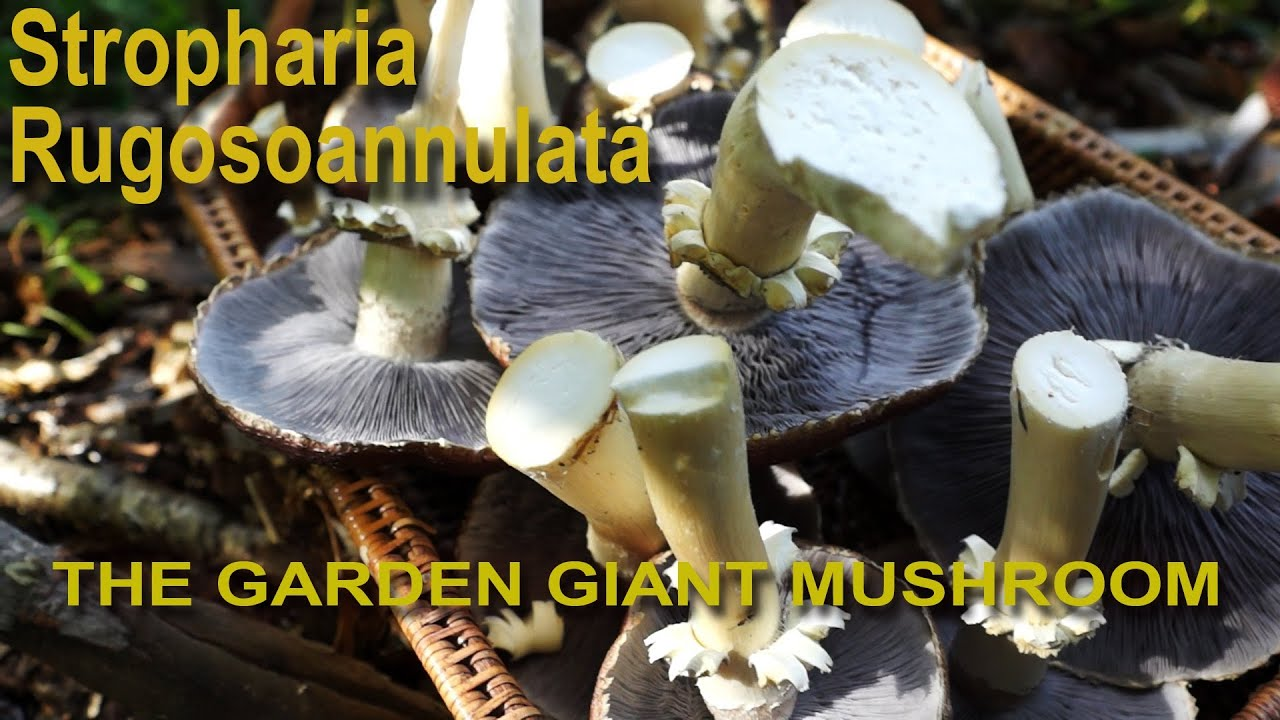 Stropharia rugosoannulata 1080p Mushroom cultivation YouTube