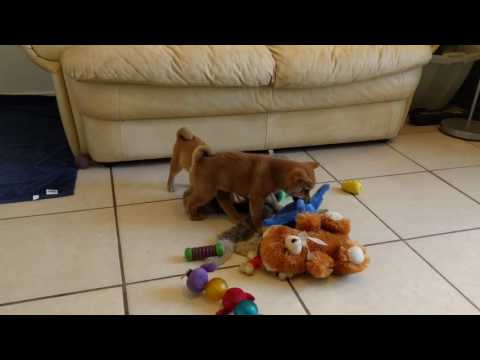 The Beanie Twins - Red Mame Shiba Inu Puppies