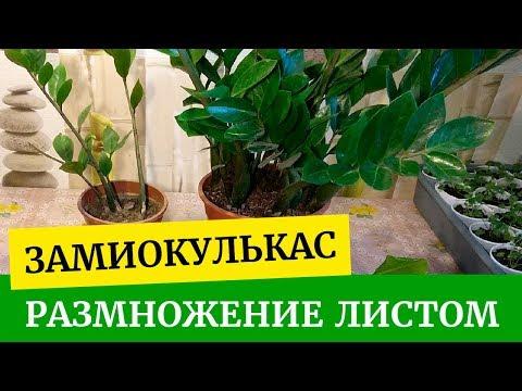 Замиокулькас размножение листом. Как укоренить лист замиокулькаса? Укоренение черенков замиокулькаса