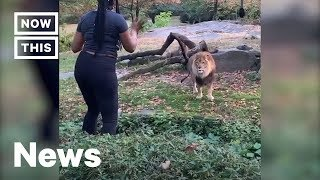 woman-climbs-into-lion-s-den-at-the-bronx-zoo-nowthis