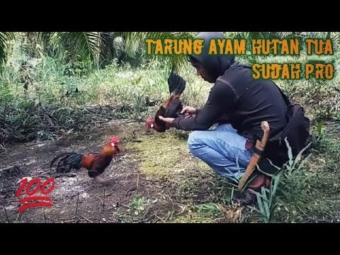 How to trap junglefowl #18 ( Red Jungle fowl - Indonesia )