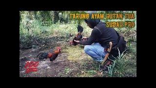 How to trap junglefowl #18 ( Red Jungle fowl - Indonesia )