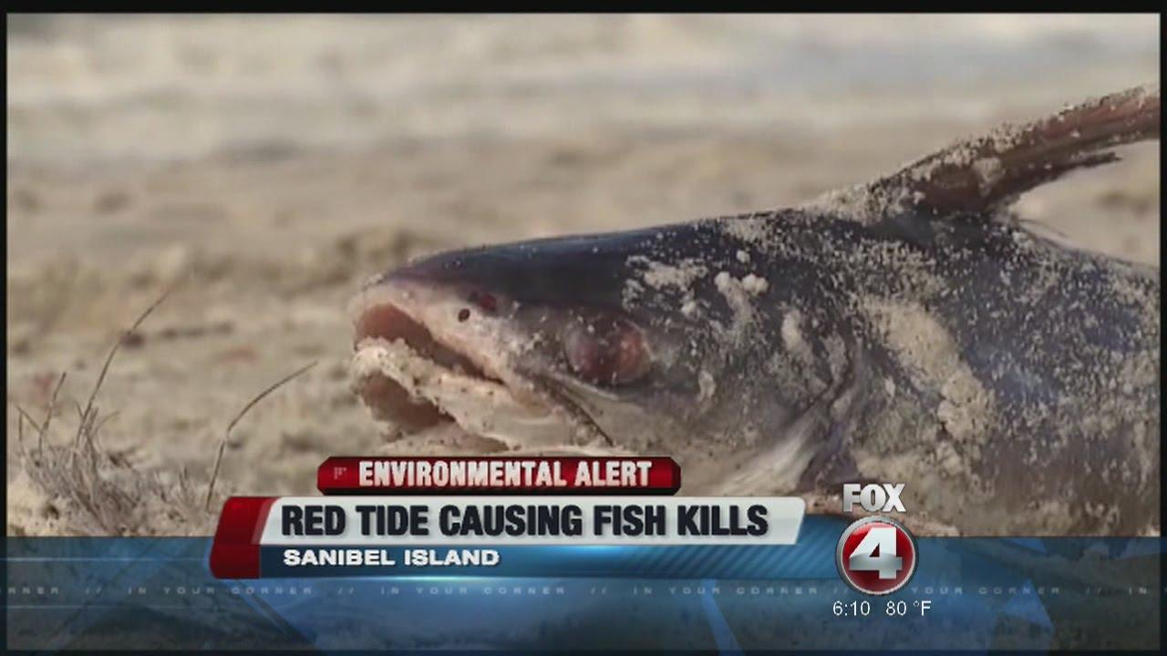 Red tide causing sanibel fish kills youtube for Tides 4 fishing sarasota