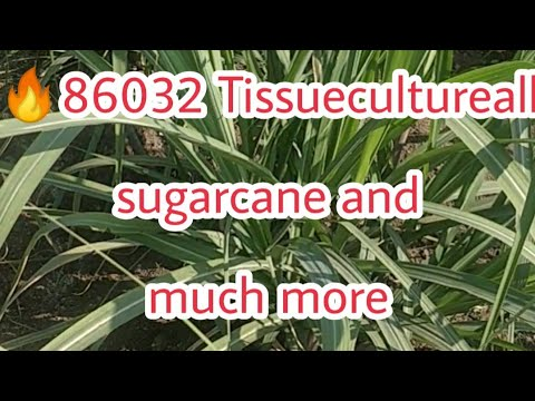 🔥86032 Tissuecultureall Sugarcane And Much More About New Varieties ऊस नवीन वाण गन्ना प्रजाती