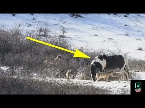 The Horse Met Six Wild Wolves And Did What Made The Photographer ćry Out