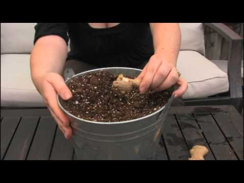 Planting Store Bought Ginger Root