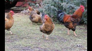 Самые выгодные куры в птичьем хозяйстве Лучшие куры