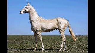 Очень красивый изабелловый ахалтекинец! Ахалтекинская порода лошадей. Текинец