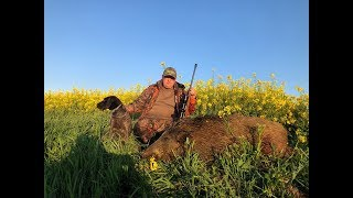 Wild Hunt. Polowanie na dziki. Deutsch drahthaar. Wildboar hunting.