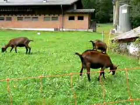 Goat Bells in a Swiss Valley