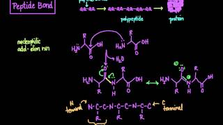 The Peptide Bond: Formation and Cleavage