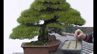 Como fazer um Bonsai a partir de semente
