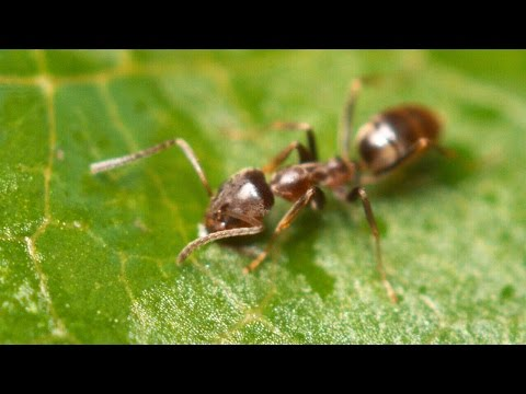 Argentine Ants | The Global Super Colony