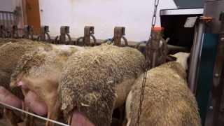 Овце от порода ЛАКОН за мляко. Доилна зала тип паралел 2х18 Де Лавал.