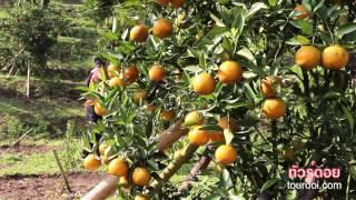 เที่ยวเชียงใหม่ชมสวนส้มสายน้ำผึ้ง