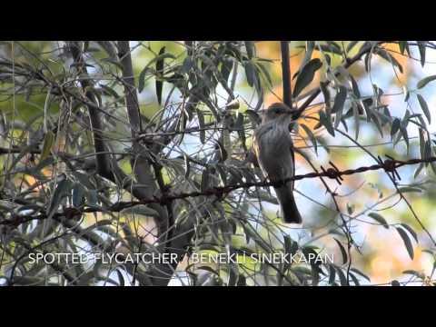 Spotted Flycatcher / Benekli Sinekkapan