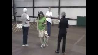 Brea Bel Canto Angela An English Cream Golden Retriever Getting Her 2nd Leg In Akc Obedience