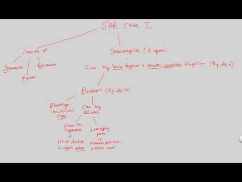 Protists - SAR Clade I