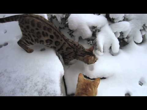 Snow Cats - Bengal's First Snow Day