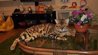 Самый красивый бенгальский кот.