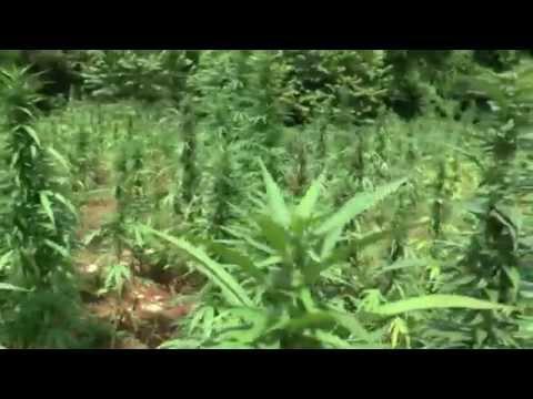 Giant Jamaica Ganja Fields 2014