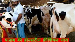 पंजाब की होल्सटीन फ्रीशियन गाय   Holstein Friesian Cow at Maur Mandi Punjab
